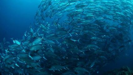 School of Jack fish swirling in a depth. Balicasag island, Phili