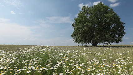 Summer tree with flowers on a meadow