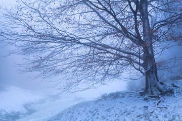 beech tree in winter foggy morning