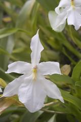 Orquídea Miltonia spectabilis alba