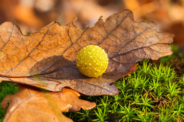 Yellow gall on dry oak leaf