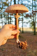 Hand holding parasol mushroom