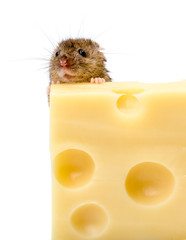 House mouse (Mus musculus) behind cheese