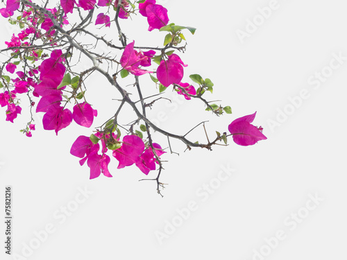 canvas print picture Pink Bougainvillea flower