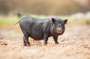Mini piggy with dirty nose walking outoors