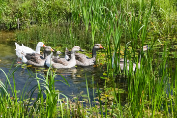 Geese in pond
