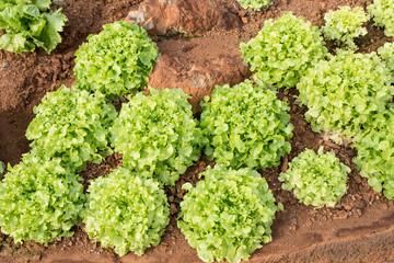 Green oak vegetable, Green oak hydroponics vegetable farm