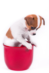 cute chihuahua puppy looking down sitting in a red pot