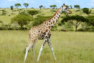 Rothschild giraffe
