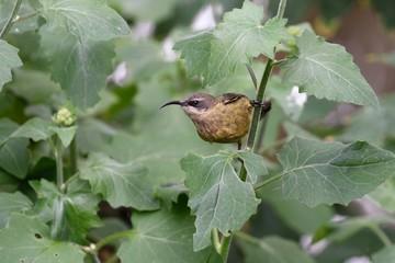 Female of bronze sunbird