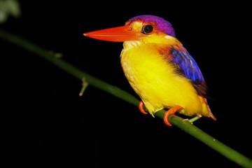 Colorful Kingfisher in the Dark-Borneo,Malaysia