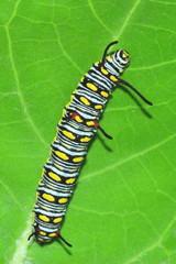 Caterpillar on the leaf