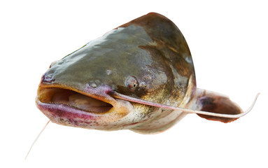 Catfish fish with open mouth