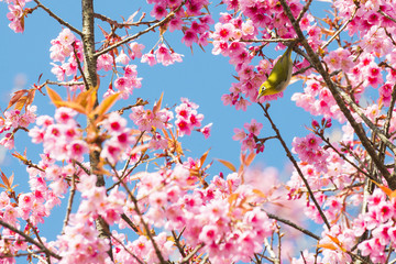 Sakura Flower or Cherry Blossom with Beautiful Background