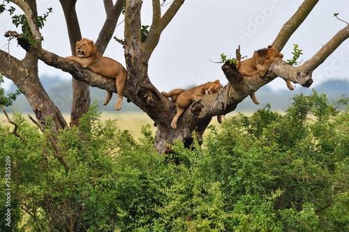 Foto op Canvas Leeuw Tree Climbing Lions