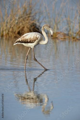 Foto op Aluminium Flamingo Immature grater flamingo