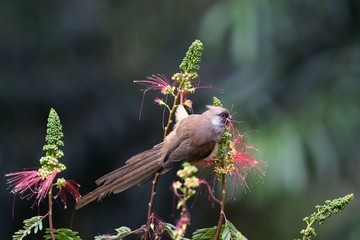 Speckled mousebird eating a flower
