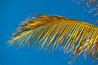 palme mûre de cocotier sur fond de ciel bleu