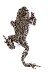 Bufo viridis, European green toad.