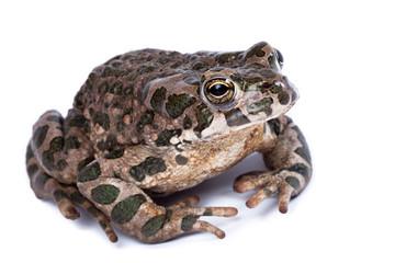 Bufo viridis, European green toad.