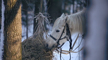 Working horse eating hay in the winter forest