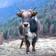 Dzo Yak in the Nepal Himalaya