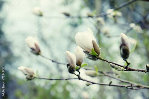 white magnolia tree blossom - 75845434