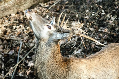 Fotobehang Ree beautiful deer