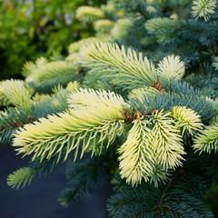 Picea pungens Białobok