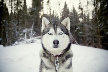 Husky 14