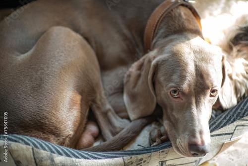 Cane di razza Weimaraner nella cuccia
