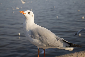 Seagull standing and looking for preys