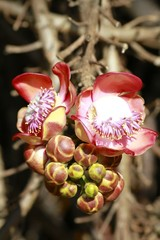 Cannonball tree flowers blooming