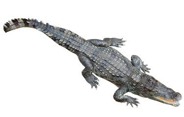 Siamese crocodile  over white background
