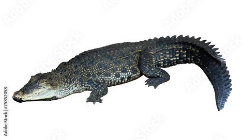 Spoed canvasdoek 2cm dik Krokodil Saltwater crocodile (Crocodylus porosus)