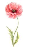 Watercolor illustration -- Poppy flower