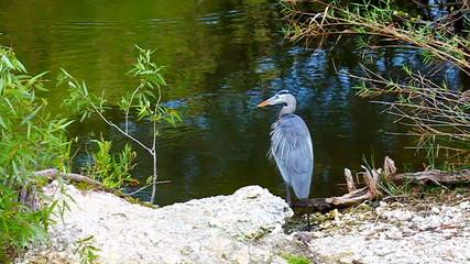 Great Blue Heron Florida Everglades