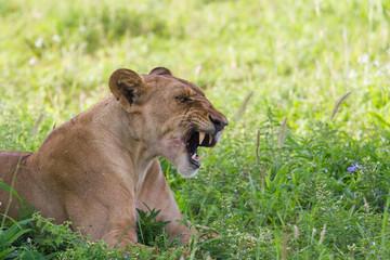 Lionne rugissant