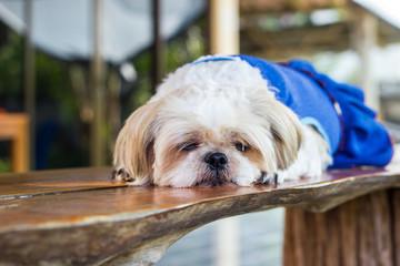 cute Shih tzu dog sleeping on wooden table