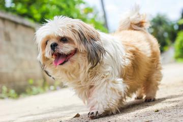 cute Shih tzu dog walking on the road