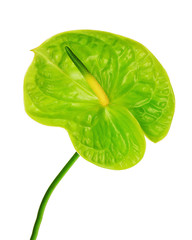 Green anthurium isolated on white background.