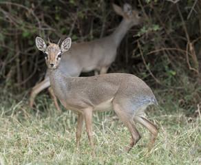 africa kenya Samburu game reserve  a dik dik