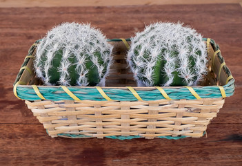 cactus in basket