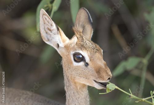 Papiers peints Antilope Dik Dik feeding