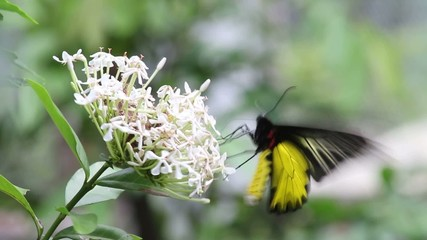 Butterfly sucking nectar from white flowers.