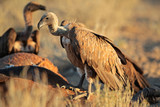 Scavenging white-backed vultures poster