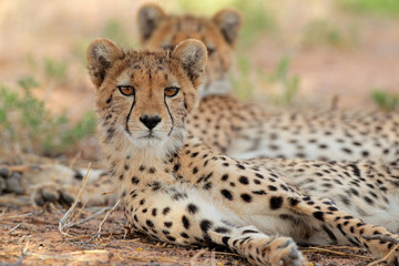 Alert cheetah, Kalahari desert