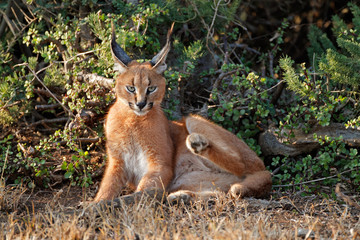 A caracal (Felis caracal) resting in natural habitat