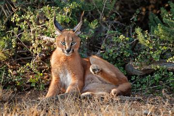 A caracal (Felis caracal) resting in natural habitat