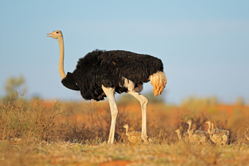 Ostrich with chicks in desert landscape